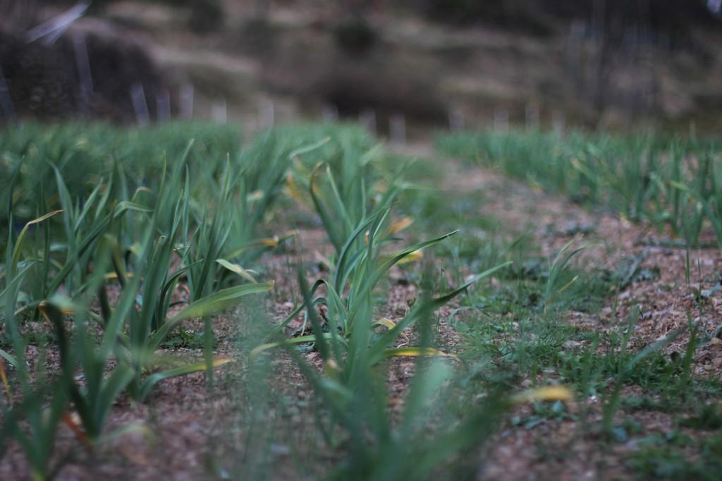 La coltivazione di aglio di Vessalico