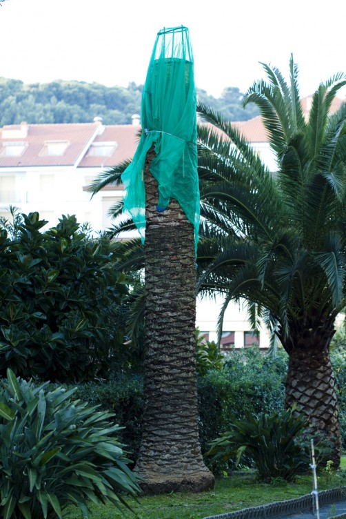Palma risanata e protetta da rete anti-insetto