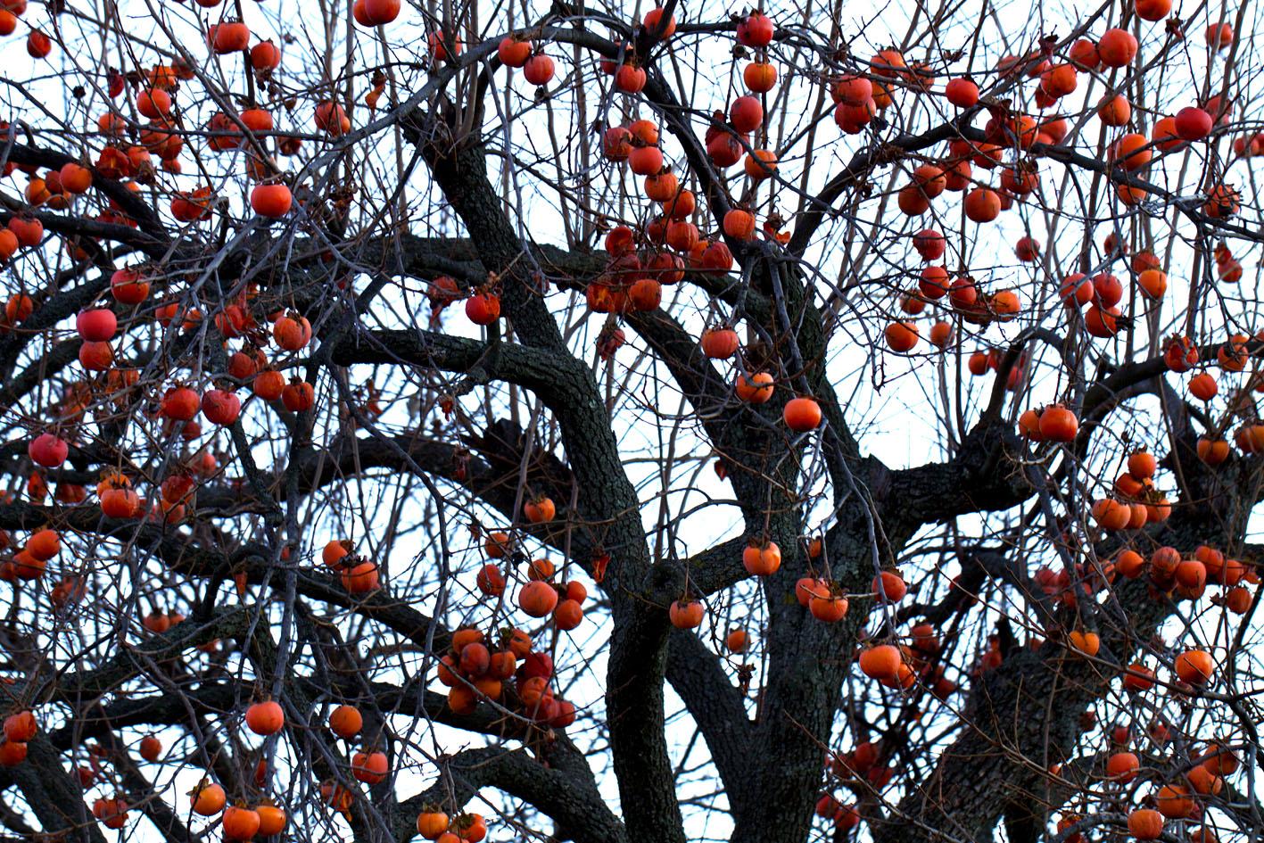 Il nostro albero di natale video liguriainside for Albero di cachi