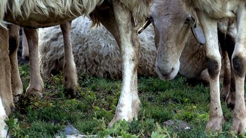 Le pecore della Brigue.