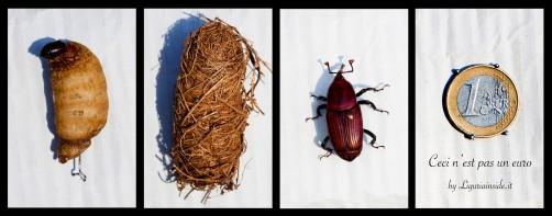 Punteruolo Rosso (Rhynchophorus ferrugineus) - fasi di sviluppo e dimensioni