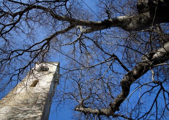 Bagolaro che abbraccia il campanile di Diano Borello
