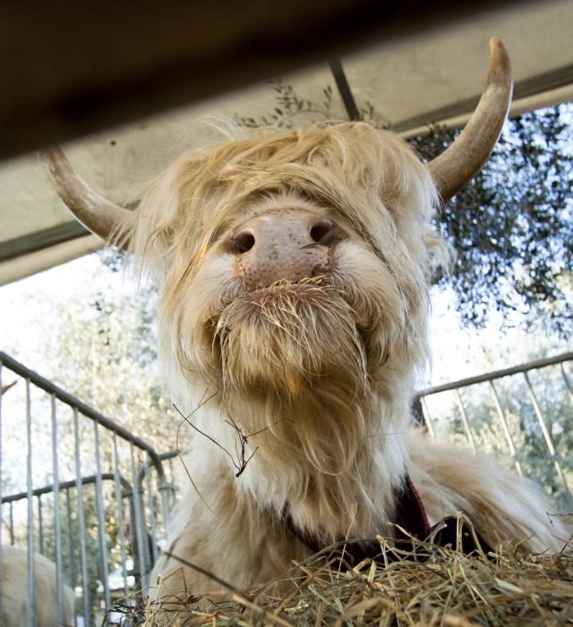 Bovino di razza Highland Scozzese - Fiera della Candelora