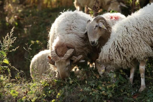Pecore a Mendatica - Transumanza