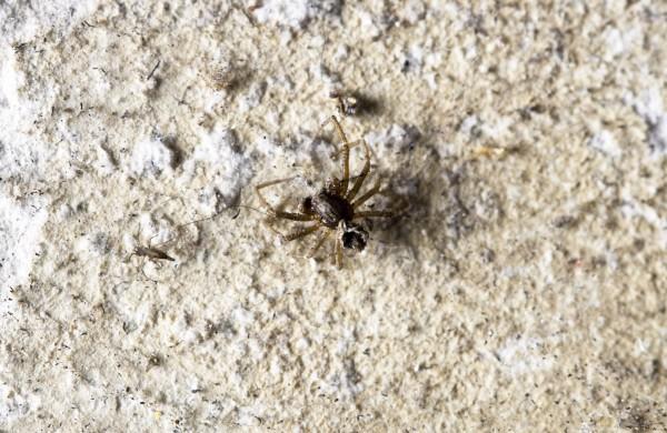 I ragni dei portici di Oneglia - Imperia - esuvia