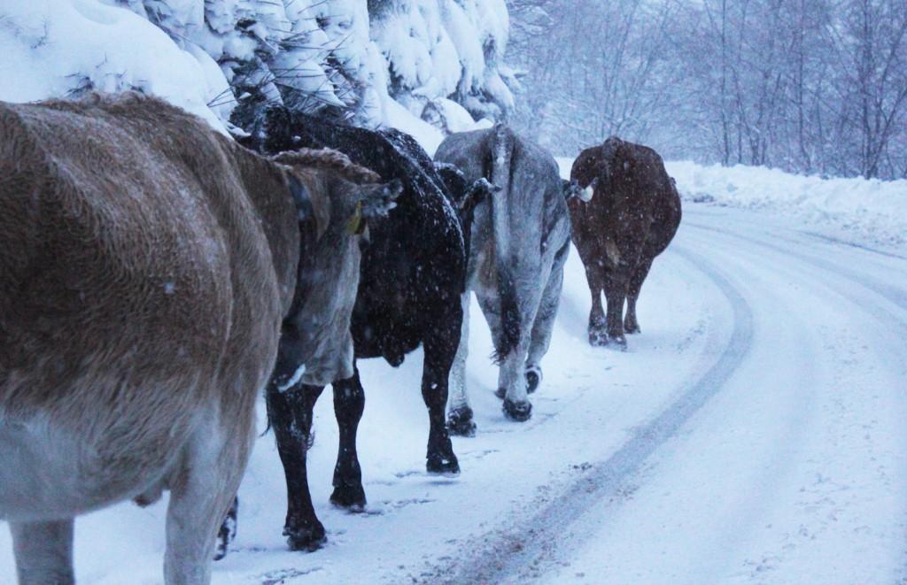 Quattro deliziose vacche nel bosco di Rezzo