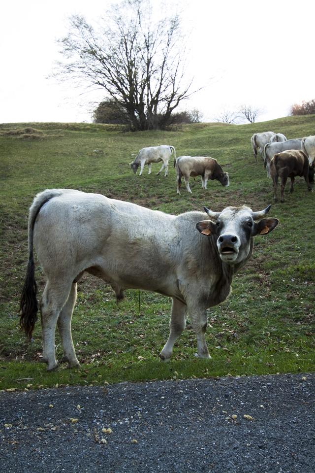 Toro e pascoli
