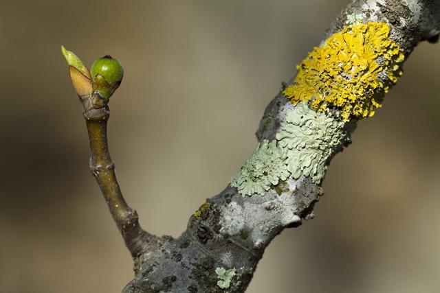 Ficus carica e lichene