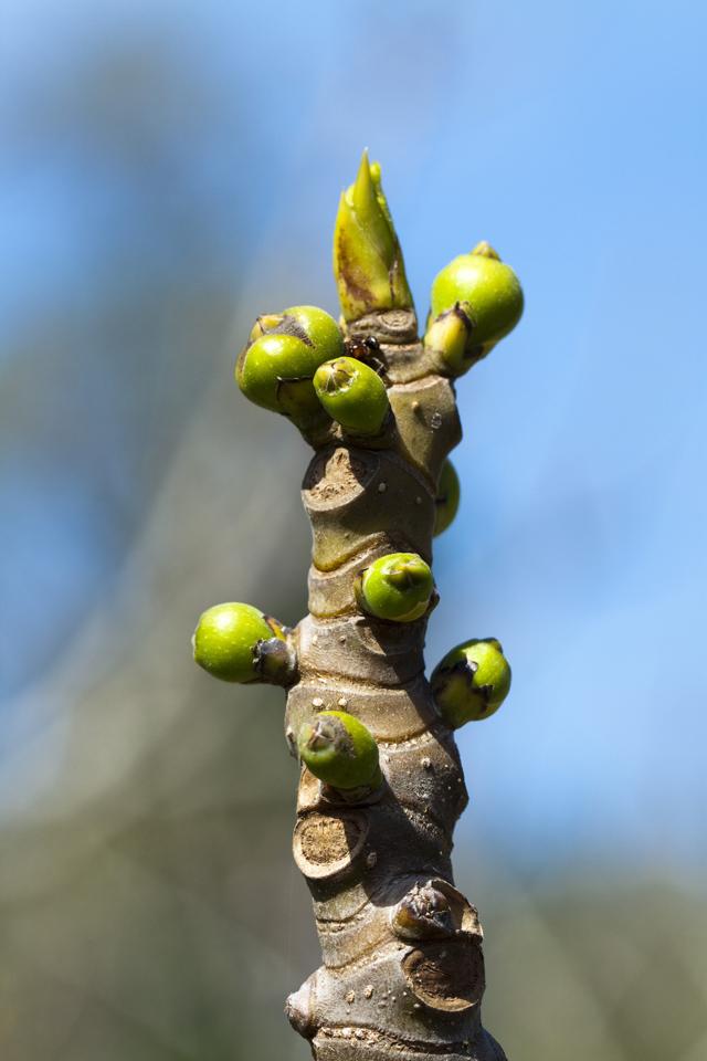 Ficus carica con fiori