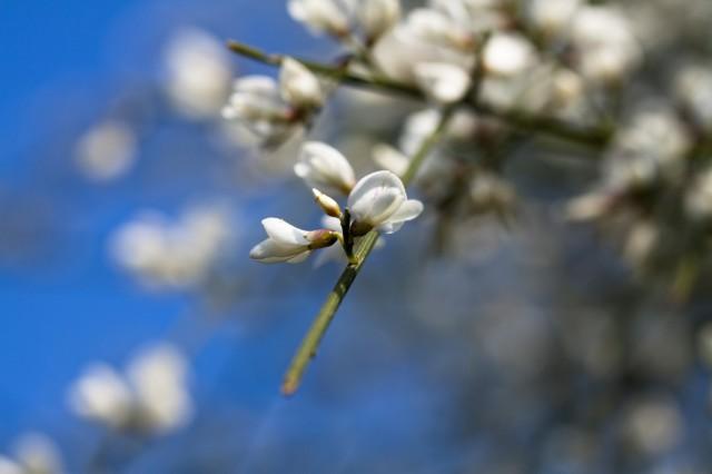 Ginestra bianca - fiore