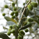 Una pendana di olive