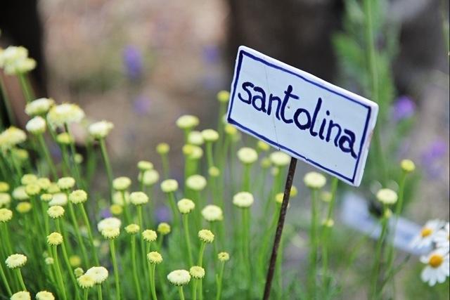 la Santolina, pianta aromatica alla Festa delle Erbe